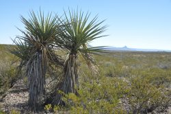 Photo of South Alamito Ranch, creosote and yuccas