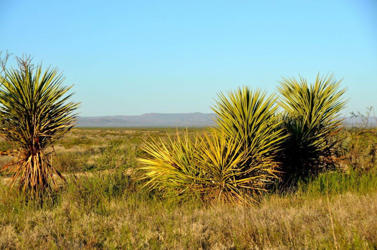 Photo of Coyanosa Draw Ranch, yuccas in landscape