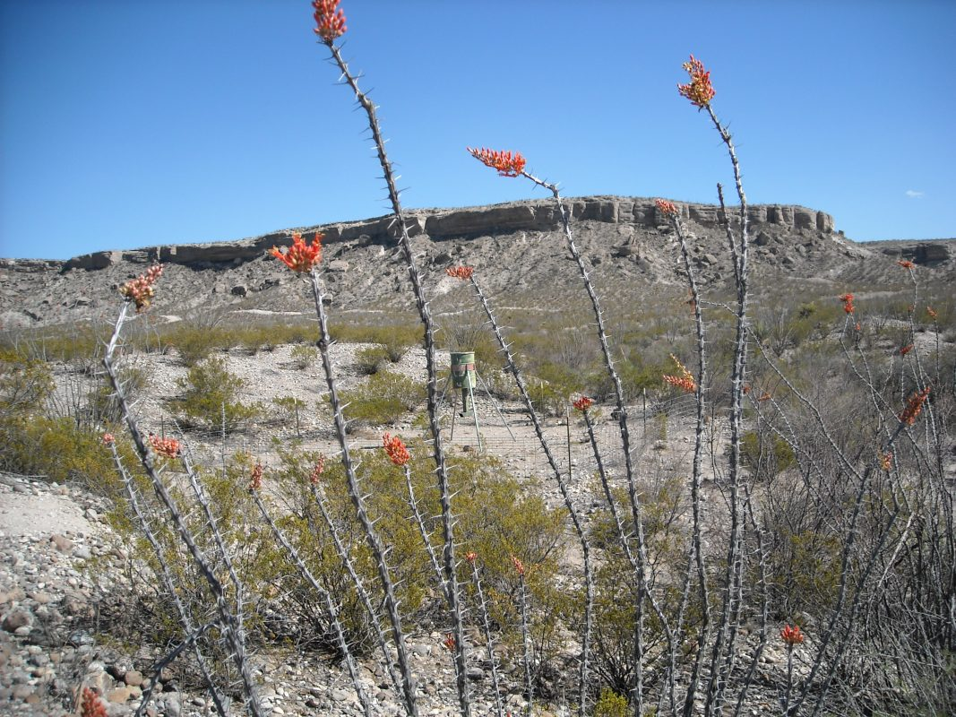 Photo of Alamito Waters Ranch, ocotillo