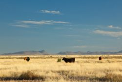 Photo of Quebec Ranch, grassland and cattle