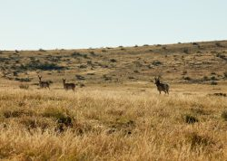 Photo of Quebec Ranch, grassland with pronghorn antelope