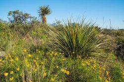 Photo of High Mesa Ranch, wildflowers and yucca