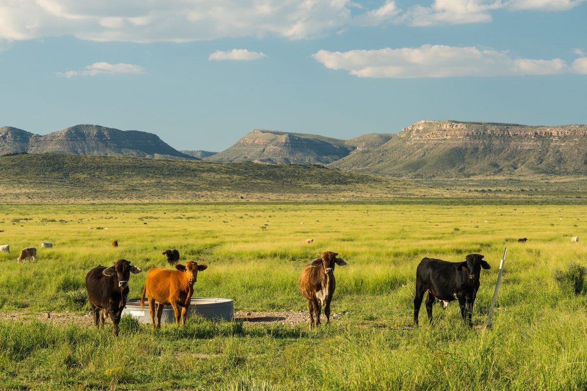 Photo of Red Mill Ranch, cattle in grassy valley