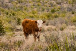 Photo of Black Hills Ranch, cattle