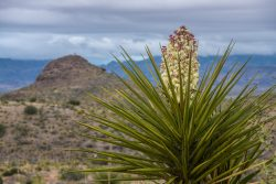 Photo of Black Hills Ranch, rain over Cerros Prietos, wildflowers: Torrey yucca (Yucca torreyi)